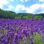 富良野ラベンダー畑の見頃は何月?開花状況の確認方法はこちら!